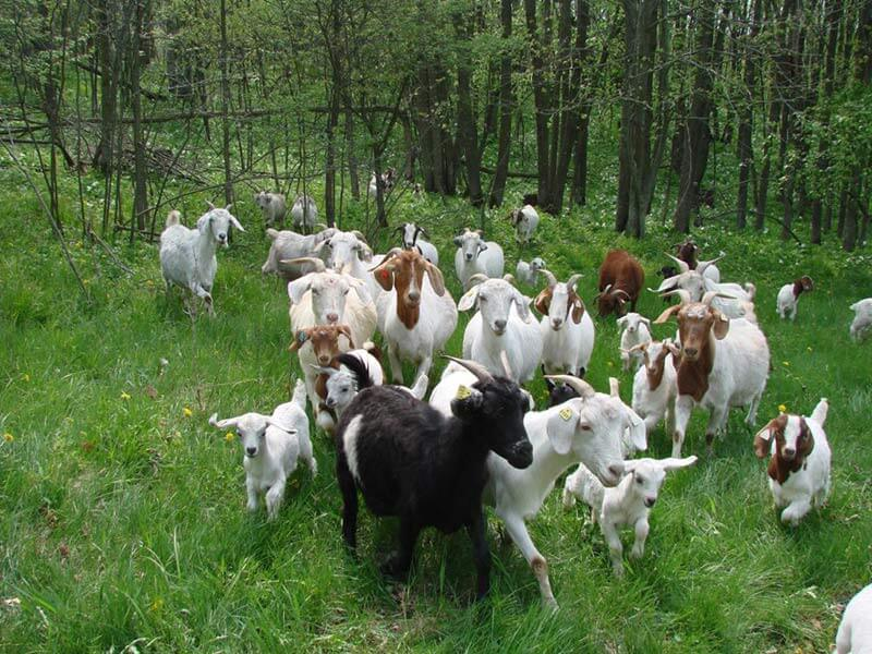Goats and kids delighting in woods