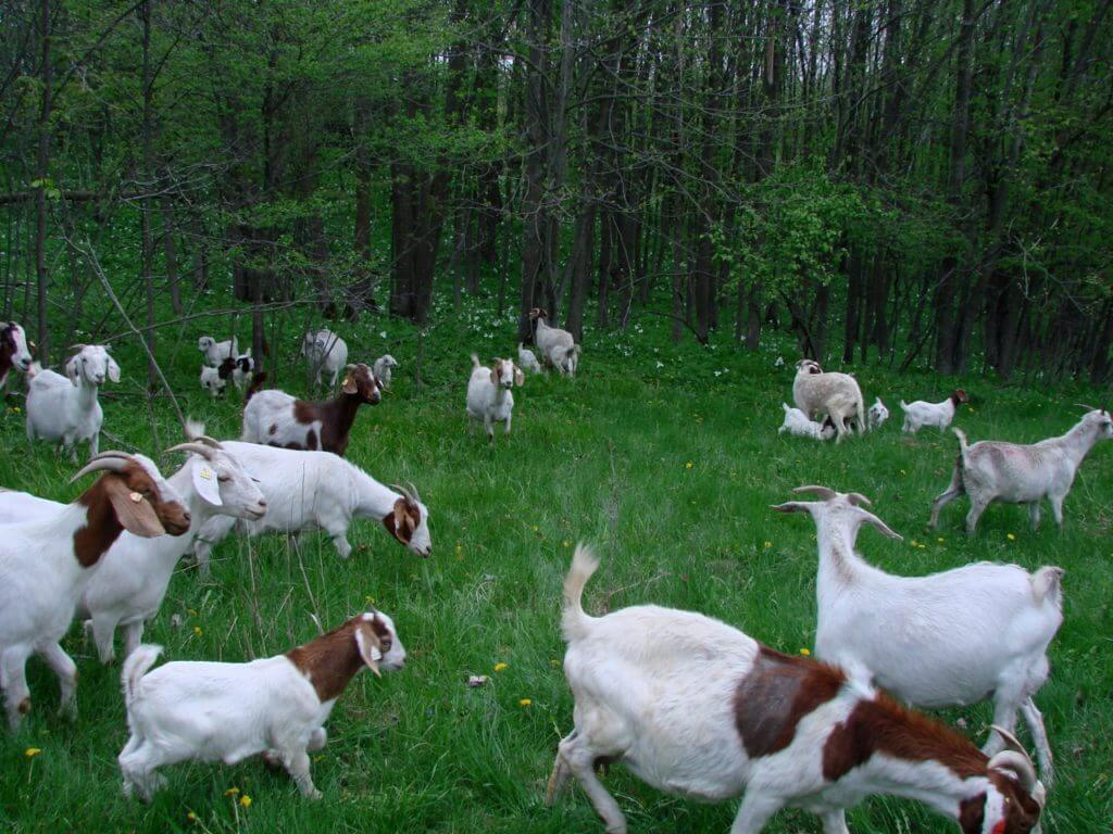 grass fed goat farming