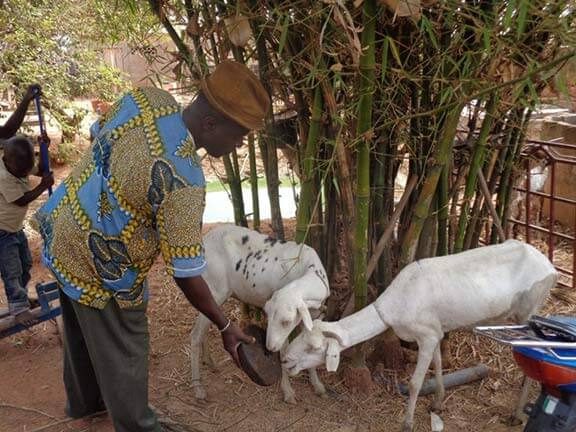 Malian farmer feeding home made molasses block to sheep