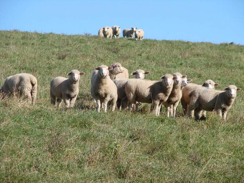 grass fed sheep & goat farm