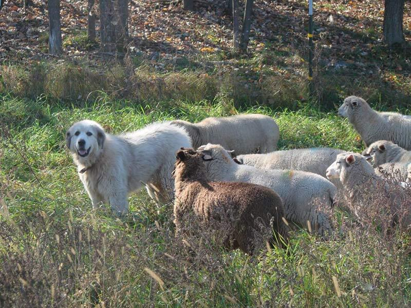 Guardian dog Tully with his lambs