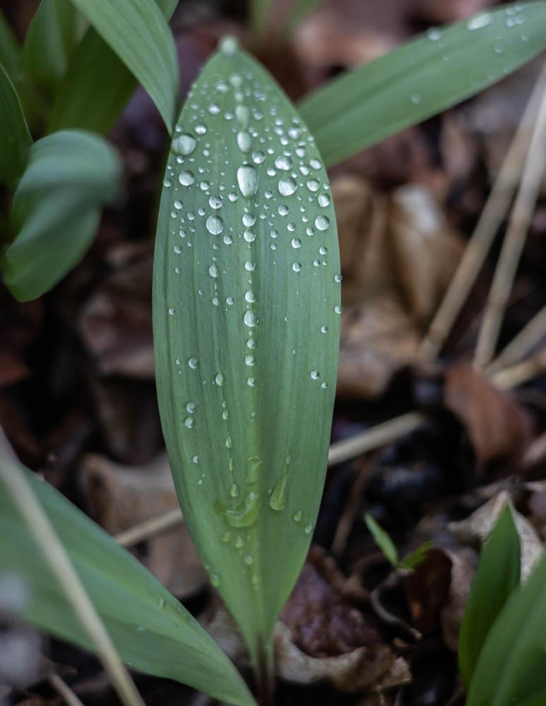 ramps or wild leeks, allium tricoccum