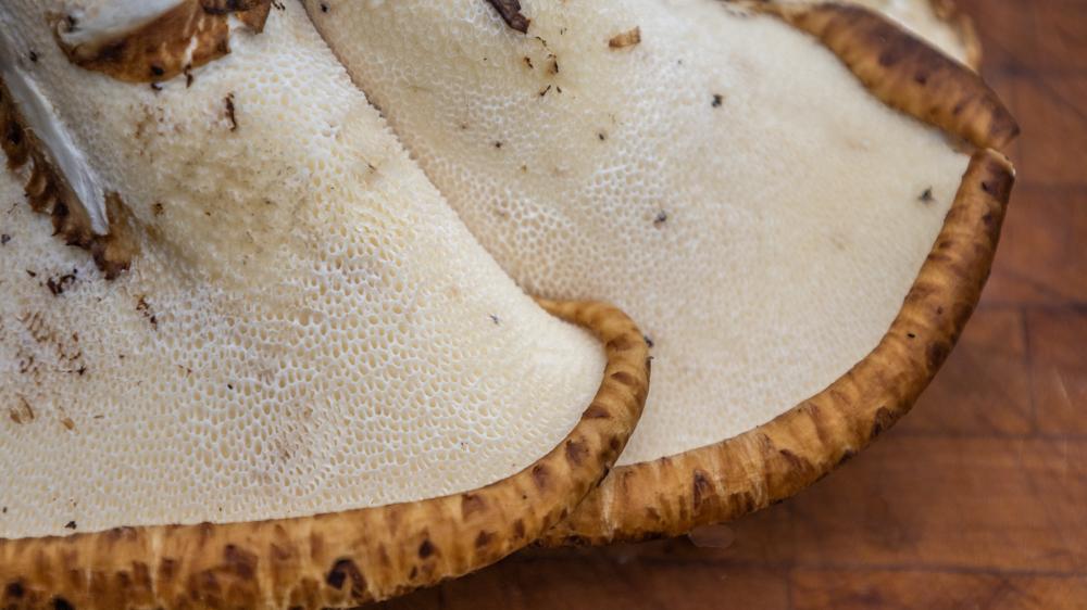 Pheasant back or dryad saddle mushrooms