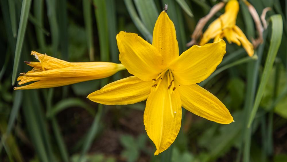 Edible day lilies